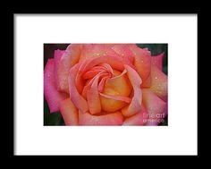 rose, orange, flower, bloom, blossom, nature, garden, michiale, schneider, photography