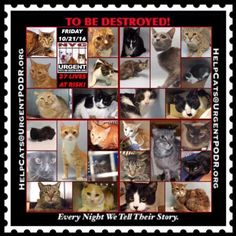 """TO BE DESTROYED 10/21/16 - - Info  Please share View tonight's list here: http://nyccats.urgentpodr.org/tbd-cats-page/  The shelter closes at 8pm. Go to the ACC website( http:/www.nycacc.org/PublicAtRisk.htm) ASAP to adopt a PUBLIC LIST cat (noted with a """"P"""" on their profile) and/or … CLICK HERE FOR ADDITIONAL INF...-  Click for info & Current Status: http://nyccats.urgentpodr.org/to-be-destroyed-091716/"""