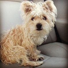 morkie in need of a haircut!
