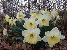 Daffodil Flowers, Daffodils