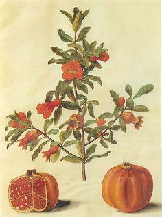 pomegranate botanical illustration @wikimediacommons #illustration #botanical #print
