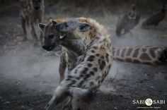 Hyenas and vultures were fulfilling their clean up duties at the giraffe carcass with tensions running high between both bird and mammal. Private Games, Game Reserve, Hyena, Mammals, Panther, Kangaroo, South Africa, Giraffe, Safari