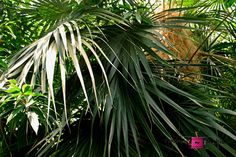 Frond Fan #photography #card #print #canvas #nature  #palm #frond