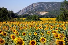 An unknown valley of sunflower fields on route to Petit Luberon near the village of Mirabeau, France. Love SUNflowers!