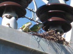 Monk Parakeets at White Rock Lake, Dallas