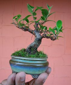 bonsai de figueira - Google Search