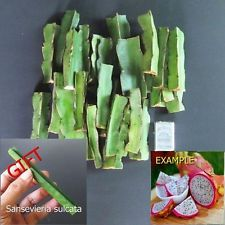 15 Cuttings Hylocereus Andatus Dragon Fruit Plant Cactus + FREE GIFT