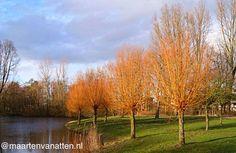 Kleur in de winter, met deze knotwilgen met gele takken. (Salix alba 'Vitellina')