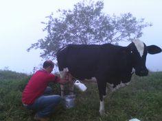 Ordeñando #davidalexandercardona #cow #milk