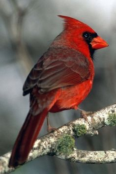 "Kentucky Cardinal. Absolutely Beautiful. ""I will sing unto The Lord as long as I live: I will sing praise to my God while I have my being. Psalm 104:33"