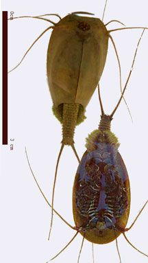 Triops: Tadpole Shrimp - What's That Bug?