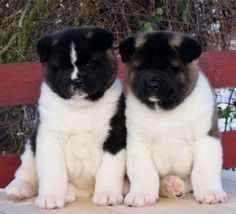 Two of the cutest Japanese Akita, Japanese Dogs, Most Beautiful Dog Breeds, Beautiful Dogs, Animals And Pets, Baby Animals, Cute Animals, Akita Puppies, Dogs And Puppies