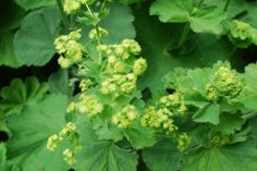 One for the Ladies: Lady's Mantle |
