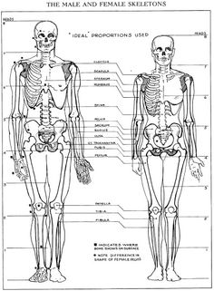 male vs female skeleton | human anatomy / poses | pinterest, Skeleton