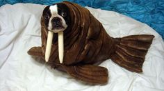 Picture of Echo the Walrus - this is adorable! It is a boston terrier