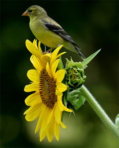 Goldfinch on Sunflower. Our sunflowers attracted one of these to our garden this year and he's stuck around all summer!