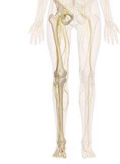 Nerves of the Leg and Foot | Interactive Anatomy Guide