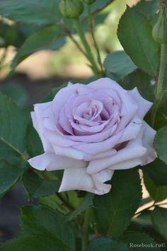 ~Florist rose 'Ocean Song aka Boyfriend'   Tantau 1995