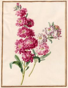 Circle of Madeleine Françoise Basseporte | 1701-1780 | Unidentified pink and white flowers | The Morgan Library & Museum