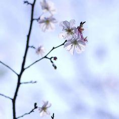 【gonsyuke_189】さんのInstagramをピンしています。 《おはようございます🎶😄 これ何かわかります⁉️ 桜なんですよ✨ 十月桜です❗️😁 #万博 #万博公園 #万博記念公園 #お写んぽ #発見 #桜 #さくら #サクラ #チェリー #ファインダー越しの私の世界 #ペンタックス #一眼レフ #マクロレンズ #マクロレンズの世界 #photo #photooftheday #photogram #flower #flowers #flowerstagram #cherry #instaphoto #instapic #instagood #macro #beautiful #cute #pentax》