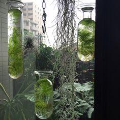 roshi303さんの、標本,リメイク,ベランダガーデニング?,アンティーク,植物,フランスアンティーク,ガラスドーム,アクアリウム,壁/天井,のお部屋写真