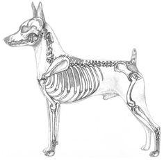 Fore-chest is well developed Anatomy Bones, Dog Anatomy, Animal Anatomy, Anatomy Drawing, Skeleton Drawings, Dog Skeleton, Skull Reference, Anatomy Reference, Animal Skeletons