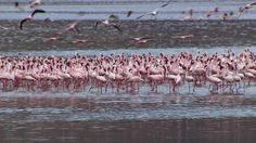 Kenya's Lake Bogoria supports 373 bird species, most notably flamingoes.