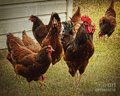 Roosters Flock Photograph  - Roosters Flock Fine Art Print by Lee Craig #chicken #red #hen #farm #country #Americana #fineartphotography #leecraig #rooster