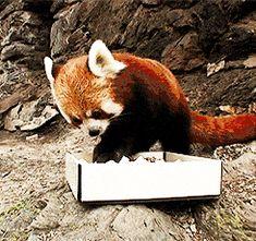 The Red Panda, a fierce predator.