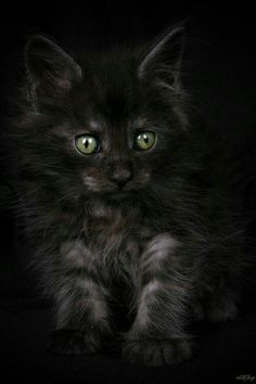 """""""Sorcerer"""" by Stephie Kaczala :) ~ Maine Coon Cute Kittens, Cats And Kittens, Funny Kitties, Ragdoll Kittens, Tabby Cats, Bengal Cats, Pretty Cats, Beautiful Cats, Animals Beautiful"""