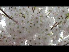 Sakura Sakura Japanese Folk Folk Song