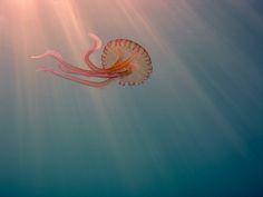 Luminescent jellyfish - Cala Galdana, Menorca - España by Zambeze72, via Flickr