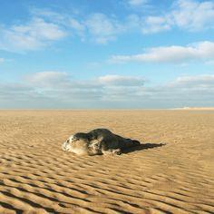 Overstekend zeehondjes tijdens een strandrit http://mooi-weer.nl