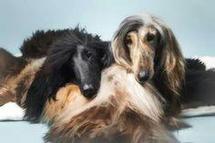 True love between 2 afghan hounds. ..