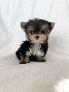 This lovely pomeranian puppy will make you amazed. Dogs are fascinating friends. Teacup Yorkie For Adoption, Micro Teacup Yorkie, Teacup Yorkie For Sale, Cute Teacup Puppies, Cute Dogs And Puppies, Tiny Dog Breeds, Puppy Breeds, Yorkshire Terrier Puppies, Terrier Dogs