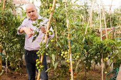Skvelý pocit, keď si zo záhrady alebo z balkóna môžete odtrhnúť chutnú paradajku a viete, že v nej nie je žiadna chémia! Ak však chceme mať bohatú a zdravú úrodu, potrebujeme poznať pár faktov. Green Fruit, Rose Kennedy, Red Tomato, Green Tomatoes, Tomato Plants, Compost, Vegetable Garden, Paths