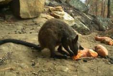 Sweet potato among measures keeping wildlife fed post-bushfires — ABC News Australia Animals, Graphite Drawings, People Of The World, Natural Disasters, Image Shows, Animal Rescue, Sweet Potato, Wildlife, Rock
