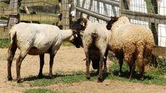 Rikki's Refuge Goats and Sheep #148 www.rikkisrefuge.org   (Sheep Shearing on 5/15/15 - Photo #1)