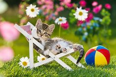 CAT 03 KH0320 01 © Kimball Stock Tabby Kitten Laying In Deck Chair In Garden With Toy Ball