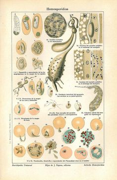 1923 Antique Science Color Lithograph  Haemosporidia Apicomplexans.
