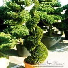 Spiral - Taxus Baccata (English Yew)