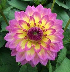 Dahlia Flowers, Leafy Plants, Pretty Photos, Joy To The World, Adult Coloring Pages, Backyard Landscaping, Flower Power, Landscape Design, Bouquets