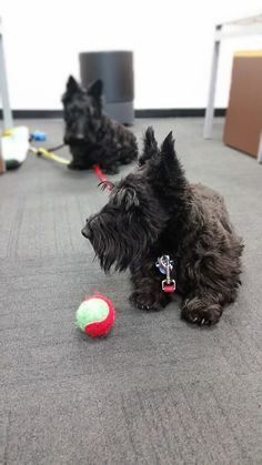 Scottish Terriers Callum and Islay always have a ball when they visit Petplan's pet-friendly headquarters - literally!