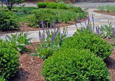 Mix evergreen shrubs with perennials along a walkway to enhance a landscape design. Boxwood 'Green Velvet' are used here along with Salvia.