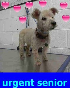 CHITZA (A1025392) I am a female white Bichon Frise. The shelter staff think I am about 8 years old. I was found as a stray and I may be available for adoption on 08/12/2015. — hier: Miami Dade County Animal Services. https://www.facebook.com/urgentdogsofmiami/photos/pb.191859757515102.-2207520000.1438982601./1024342980933438/?type=3&theater