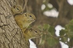Tree Squirrels, South Africa