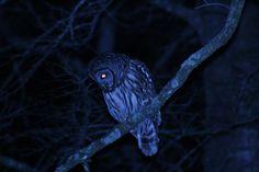 [OC] Barred Owl in South Mississippi [3888x2592] - http://ift.tt/1SuVOk1