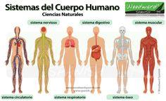 Los sistemas del cuerpo humano en español - Body systems in Spanish