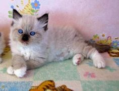 Image result for Himalayan cat