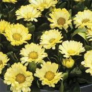 With masses of bright lemon-yellow flowers on dwarf… Buy Flowers, Yellow Flowers, Wild Flowers, Flower Seeds Online, Dwarf Plants, Just Dream, Lemon Yellow, Calendula, Spring Garden